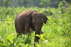 elephant hiding in green grass in nature Royalty Free Stock Photography