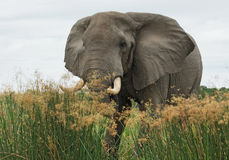 Elephant in high grass Stock Photos