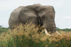 Elephant in high grassy vegetation Stock Image