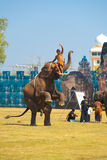 Elephant Hind Legs Raising Trainer Royalty Free Stock Photo