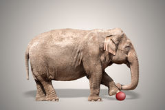 Elephant. Holding a leg on a red ball. Clipping path for  included Royalty Free Stock Photo