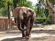 Elephant - horizontal. Elephant in a zoo - horizontal Royalty Free Stock Image