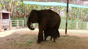 Elephant hospital in Thailand stock video