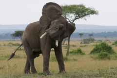 Elephant in a huff. Elephant raising its snout and flapping its ears in the Maasai Mara, Kenya royalty free stock photography