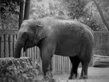 Elephant. Hungry elephant at the zoo Royalty Free Stock Photos