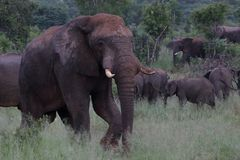 Elephant in Hwage National Park, Zimbabwe, Elephant, Tusks, Elephant`s Eye Lodge stock photography