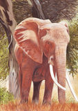 Elephant Illustration. Watercolour illustration by myself as the artist, of an African Elephant Royalty Free Stock Images