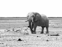 Elephant and impalas Stock Photography