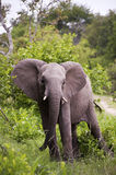 Elephant In Kruger Park Royalty Free Stock Photos
