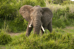 Free Elephant In Kruger Park Stock Photos - 7663433