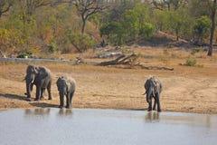 Free Elephant In Sabi Sands Stock Image - 5568221