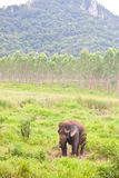 Elephant In The Wild,Thailand Stock Images