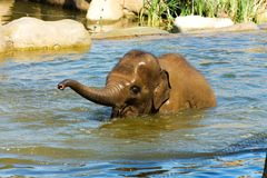 Elephant In Water Stock Photos