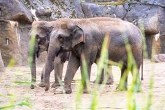 Free Elephant In Zoo Stock Images - 127772194