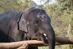 Elephant. Indian asian Elephant waiting wild Royalty Free Stock Images