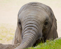 Elephant Infant. Photograph of an elephant infant, seeking food and human contact during a zoo visit Royalty Free Stock Images