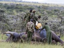 Elephant injured by poachers, receiving treatment to remove gunshot royalty free stock photos