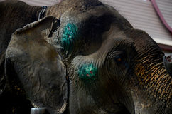 Elephant injured and sick Stock Photo