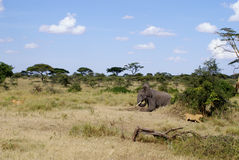 Elephant irritated by lions. An elephant is running, while 2 lionesses are running away from the elephant Stock Photography