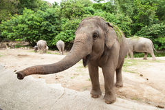 Elephant Is Asking For Food. Royalty Free Stock Images