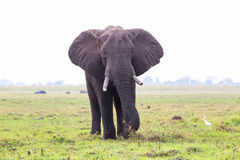 Elephant on island in Chobe River Stock Photo