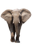 Elephant isolated. African Elephant isolated on white; Loxodonta Africana; Etosha Stock Image