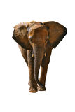 Elephant isolated Royalty Free Stock Images