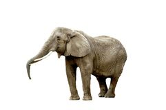 Elephant isolated. A isolated picture of a elephant on a white background Stock Photography