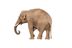 Elephant. Isolated male elephant on white Stock Photos