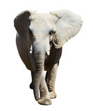 Elephant. Isolated over white Stock Photography