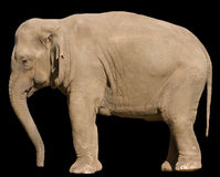 Elephant - isolated side view Stock Photography