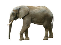 Elephant isolated stock image