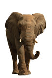 Elephant isolated on white #1 Stock Photo
