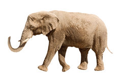 Elephant isolated on white Royalty Free Stock Photography