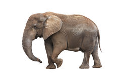 Elephant isolated on white. Adult walking elephant isolated on white background Royalty Free Stock Photography