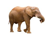 Elephant isolated on white. Elephant carrying a log in its trunk, isolated on white Stock Photography