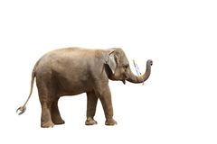 Elephant isolated white background. Stock Photos