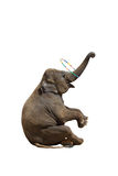 Elephant isolated white background. Royalty Free Stock Photos