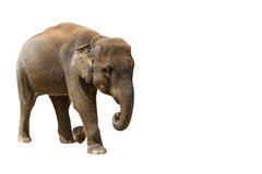 Elephant isolated white background. Stock Images