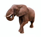 Elephant Isolated Stock Photos