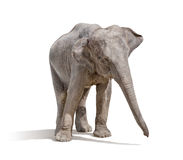 Elephant isolated on white background. With clipping path Royalty Free Stock Image