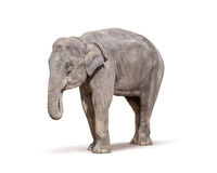 Elephant isolated on white background. With clipping path Stock Photos