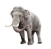 Elephant isolated on white with clipping path. Included Royalty Free Stock Photo