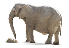 Elephant isolated on white. And food Stock Photography