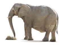 Elephant isolated on white Stock Photography