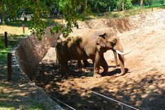 Elephant in the Israeli zoo on a sunny day royalty free stock photography