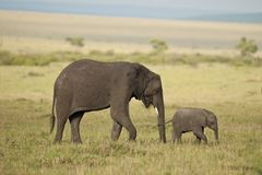 Elephant and its Calf in the Savannah Royalty Free Stock Photo