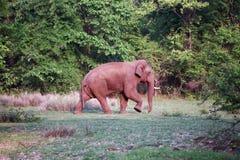 Elephant in its habitat Royalty Free Stock Image