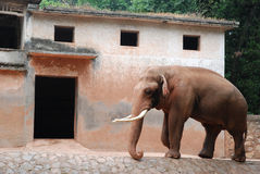 Elephant and its house Royalty Free Stock Image