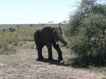 An Elephant Stock Photography